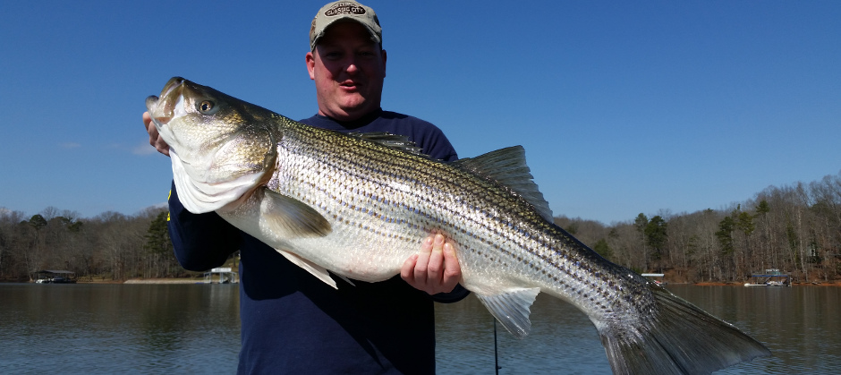 40lb Lake Lanier Striper